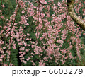 さくら 枝垂れ桜 シダレザクラの写真 6603279