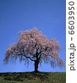 シダレザクラ 枝垂れ桜 垂れ桜の写真 6603950