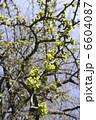 イチョウの若葉と新緑 6604087