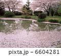 桜散る池 池 さくらの写真 6604281