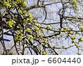 イチョウの若葉と新緑 6604440