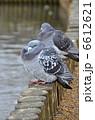 ドバト はと 鳥の写真 6612621