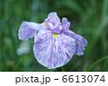 花菖蒲 ショウブ ハナショウブの写真 6613074