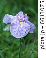ショウブ 花菖蒲 ハナショウブの写真 6613075