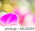 花弁 デンファレ ファレノプシスの写真 6619289