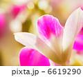 花弁 ファレノプシス デンドロビュームの写真 6619290