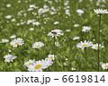 菊 みつばち 蜜蜂の写真 6619814