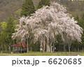 お花 おしら様のしだれ桜 さくらの写真 6620685