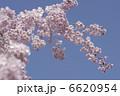 枝垂れ桜 シダレザクラ 垂れ桜の写真 6620954