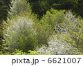 お花 ヤマザクラ 山桜の写真 6621007