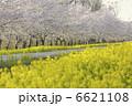 お花 なの花ロード さくらの写真 6621108