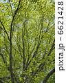 葉っぱ 樹木 ユリの木の写真 6621428