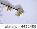 お花 連翹 れんぎょうの写真 6621459