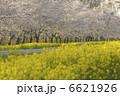 お花 なの花ロード さくらの写真 6621926