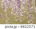 枝垂れ桜 シダレザクラ 垂れ桜の写真 6622571
