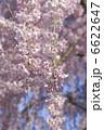 枝垂れ桜 シダレザクラ 垂れ桜の写真 6622647