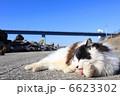 のら猫 ノラ猫 ネコの写真 6623302