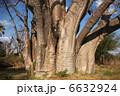 巨樹 大樹 バオバブの木の写真 6632924