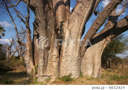 バオバブの大木 6632924
