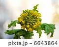 菜の花 6643864