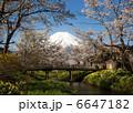 忍野八海の桜 6647182