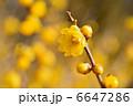 黄梅 ロウバイ 梅の写真 6647286