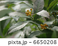 仙蓼 黄実の千両 キミノセンリョウの写真 6650208