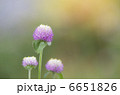 センニチコウ 千日紅 千日草の写真 6651826
