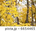 カエデ 黄葉 モミジの写真 6654465