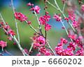 紅梅 コウバイ ウメの写真 6660202