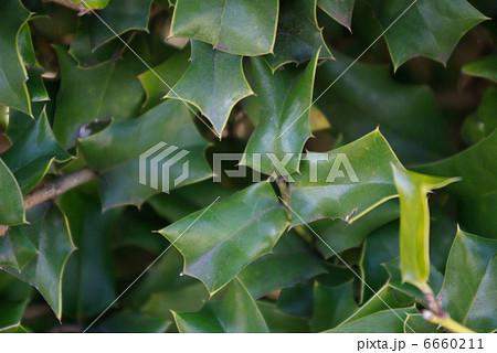 ヒイラギに良く似たヒイラギモチの葉 6660211