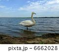 渡り鳥 ウトナイ湖 白鳥の写真 6662028