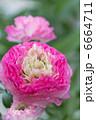 ラナンキュラス キンポウゲ お花の写真 6664711