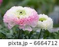 ラナンキュラス キンポウゲ お花の写真 6664712