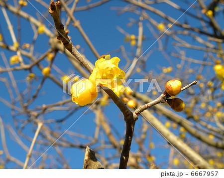 正月最初に見られる黄色い花ロウバイ 6667957