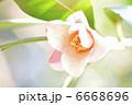 つばきの花 椿の花 ツバキの花の写真 6668696