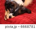 パピヨン 6668781