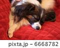 パピヨン 6668782