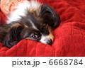 パピヨン 6668784