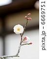 ウメの花 6669751