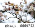 ウメの花 6669752