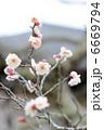 梅の花 6669794