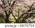 山桜 6670759