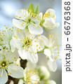 花 さくら サクラの写真 6676368