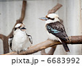 ワライカワセミ 鳥 鳥類の写真 6683992