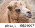 陸上動物 草食動物 フタコブラクダの写真 6684007