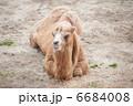 陸上動物 草食動物 フタコブラクダの写真 6684008