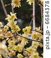 ロウバイ ろうばい 梅の写真 6684378