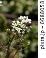 ナズナ ペンペングサ ペンペン草の写真 6688058
