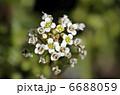 ナズナ ペンペングサ ペンペン草の写真 6688059